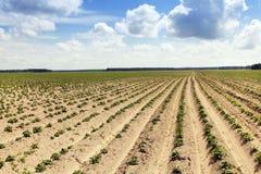 Einige blühende Kartoffeln furche Lizenzfreie Stockfotografie