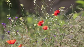 Einige blühende Mohnblumen stock footage