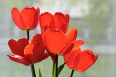 Einige blühende rote Tulpen Lizenzfreie Stockfotos
