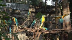 Einige blau-und-gelbes Keilschwanzsittich Aronst?be ararauna Chiang Mai stock video footage