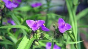 Einige Blumen Glockenblume Portenschlagiana-Purpur stock video footage