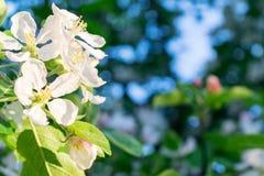Einige Blumen von Apple auf einer Niederlassung mit Blättern Lizenzfreie Stockfotos
