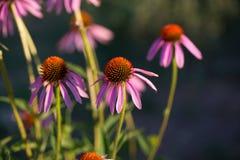Einige Blumen von Echinacea purpurea oder von Igeles coneflower lizenzfreie stockfotos