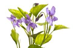 Einige Blumensträuße von Acker-Stiefmütterchen in Folge Lizenzfreies Stockbild