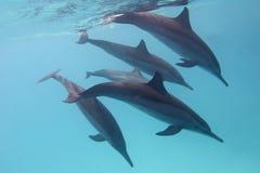 Einige Delphine im tropischen Meer auf einem Hintergrund des blauen Wassers Lizenzfreies Stockfoto