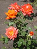 Einige der Blumen der orange Teerosen im Sommergarten lizenzfreie stockfotos