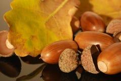 Einige Eicheln im Herbst Stockbild