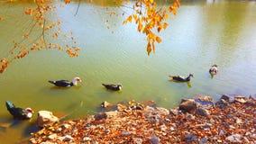 Einige Enten, die gerade heraus hängen Stockbild