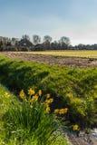 Einige entgangene Narzissen schauen heraus über den Blumenfeldern lizenzfreies stockfoto