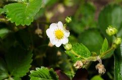 Einige Erdbeerblumen auf dem Stamm Stockfotos
