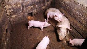 Einige Ferkel laufen gelassen um eine Schweinebucht stock video
