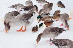 Gänse und Enten, die Samen essen Stockbild