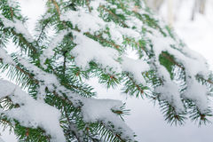 Einige grüne Tannenbaumaste im weißen Schnee Lizenzfreie Stockfotografie