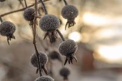 Einige Hagebutten gefrorenes Hängen Lizenzfreie Stockfotografie