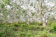 Einige Koalabären, die in den Gummibäumen stillstehen Stockfotos