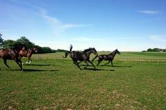 Einige Pferde auf einem Gebiet. Stockbild