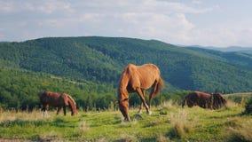 Einige Pferde lassen in einem malerischen Tal gegen den Hintergrund der Berge weiden Grünes Tourismuskonzept stock footage