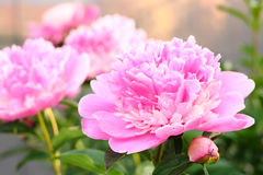Einige Pfingstrosenblumen sind rosa Stockfotos
