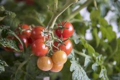 Einige reife Tomaten Stockfotos