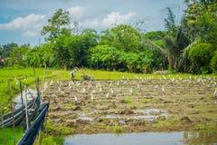Einige Reiher, die kleine Tiere auf dem grünen Reisgebiet, Reis im Wasser auf Reisterrassen, Ubud, Bali, Indonesien essen Stockbilder