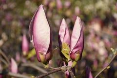 Einige rosa Magnolienknospen Stockbilder