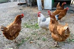 Einige rote Bauernhofhühnerzucht: Redbro, Lohmann Brown, Hisex Brown, Hy-Line Stockfotos