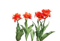 Einige rote blühende Tulpen lokalisiert Stockbild