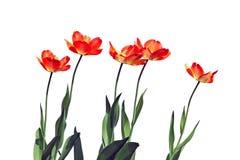 Einige rote blühende Tulpen lokalisiert Lizenzfreie Stockfotografie