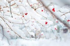 Einige rote reife Früchte von Viburnum bedeckt im Schnee Stockfotos