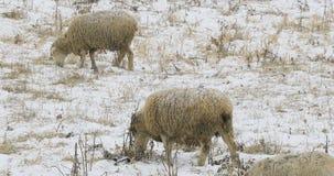 Einige Schafe auf dem Gebiet im Schnee Stockfotografie