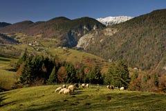 Einige Schafe auf einer grünen Wiese Stockfotos