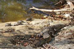 Einige Schildkröten und ein Krokodil aalen sich in der Sonne Lizenzfreie Stockfotografie