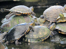 Einige Schildkröten zusammen Lizenzfreies Stockbild