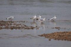Einige Seemöwen, die im Wasser stillstehen Stockbild