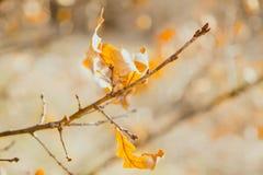 Einige trockene Blätter der gelben Eiche beleuchteten mit der Sonne auf einer dünnen Niederlassung herein Lizenzfreies Stockbild