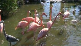 Einige Vögel in einem Teich stock video footage
