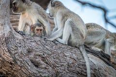 Einige Vervet-Affen, die auf einem Baum stillstehen Lizenzfreie Stockfotos