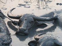 Einige Wasser-Büffel, die in einem Schlamm-Loch in Asien - näher sich wälzen Stockfoto