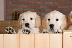 Einige Welpen des goldenen Apportierhunds Stockfotografie