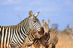 Einige Zebras in der afrikanischen Savanne Stockbilder