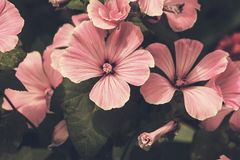 Einjährige Blume Blumenhintergrund in gedämpften Tönen und in Weinlese styl Stockfoto