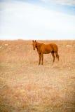 Einjähriger Quarterhorse Stockfoto