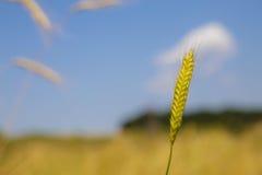 Einkorn wheat Stock Photo