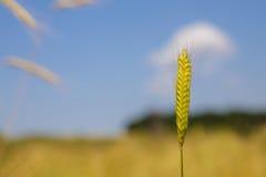 Einkorn wheat Royalty Free Stock Photography