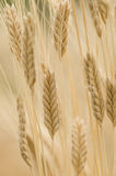 Einkorn wheat, Triticum monococcum Stock Photos