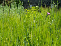 Einkorn wheat Triticum monococcum. In the herb garden at the Convent Inzigkofen on Upper Danube Valley, Swabian Alb, Baden Wuerttemberg, Germany, Europe Stock Image