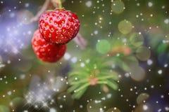 Einladung des neuen Jahres Erdbeeren, die an einem Fichtenzweig hängen Lizenzfreie Stockfotografie