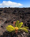 Einsame Anlage auf einem Lava-Feld Stockfotografie