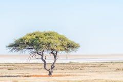 Einsame Baumlandschaft mit dem Etosha Pan in der Rückseite Lizenzfreies Stockfoto