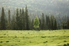 Einsame Birke auf dem Hintergrund des gezierten Waldes lizenzfreie stockfotografie